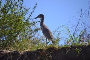 Heron in Costa Rica on Mangrove Forest boat tour by Caravan Tours