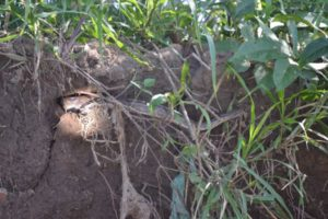 Boa constrictor in Costa Rica - Mangrove forest boat tour by Caravan Tours