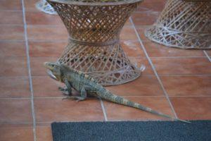 Iguana at hotel in Manuel Antonio Park Costa Rica - Caravan Tours